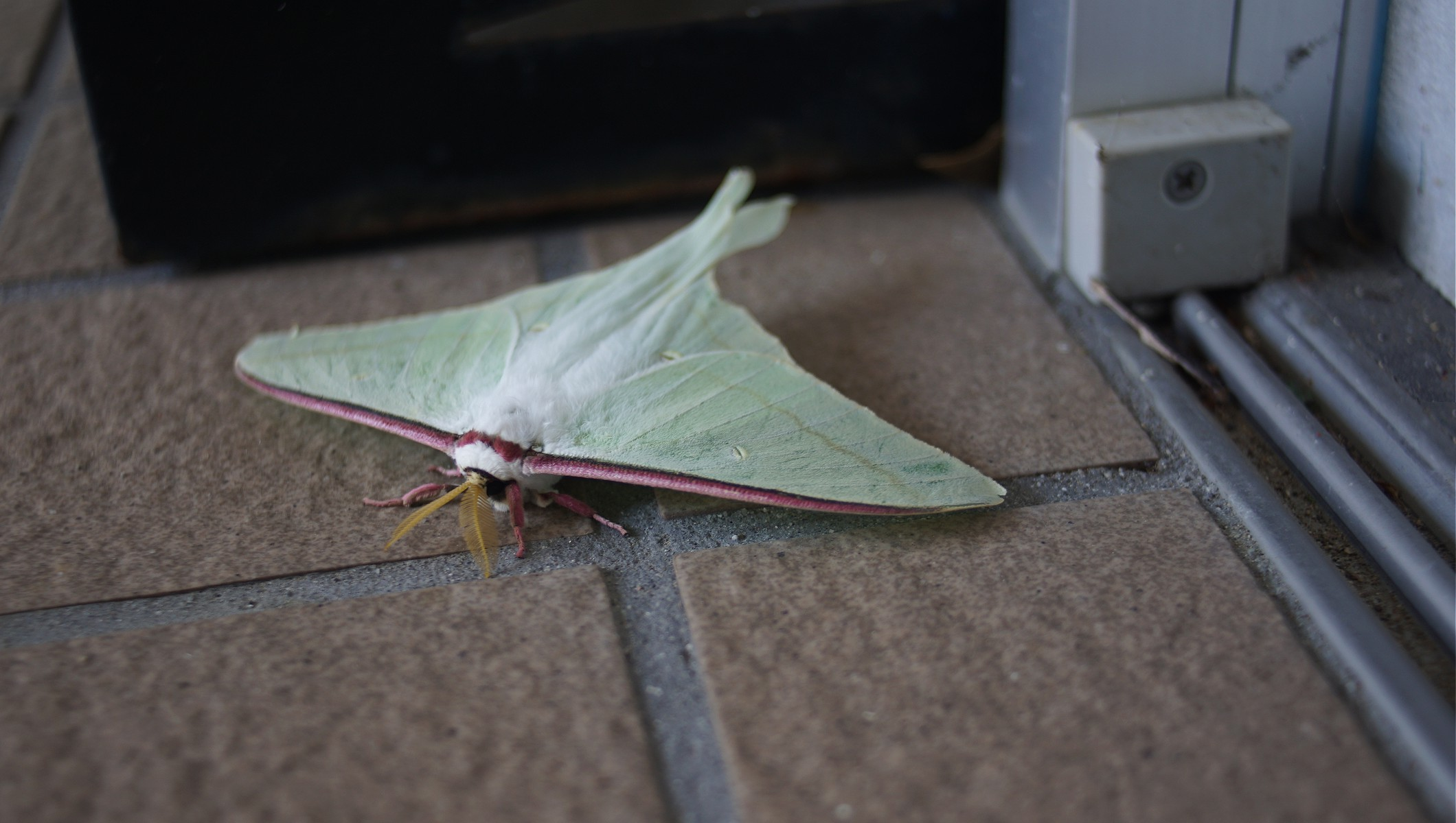 Luna moth in Minamiise picture